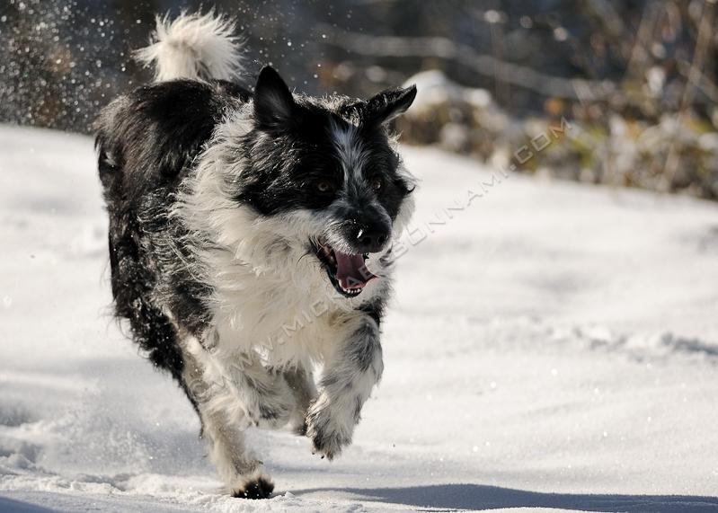 Neige en Vallée d'Aure - Border Collie en pleine course dans la neige