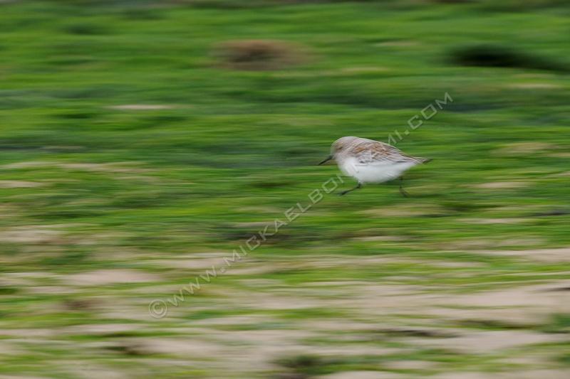 Oiseau de rivage - Ile d'Oléron - Bécasseau Sanderling