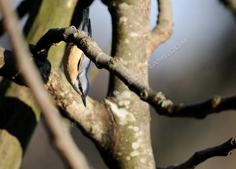 Oiseaux des jardins - Sitelle Torchepot