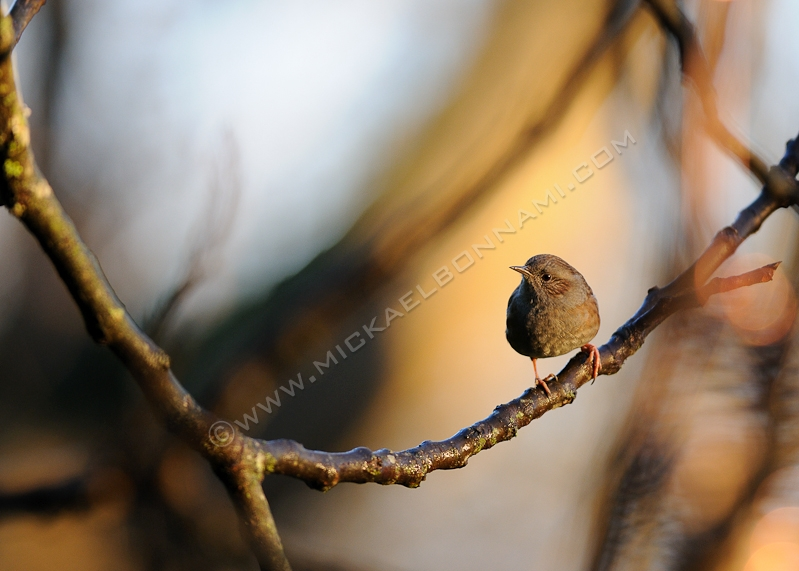 Oiseaux des jardins - Accenteur mouchet