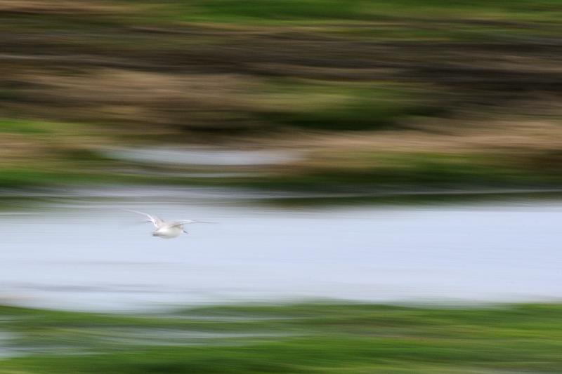 Oiseaux des rivages - Bécasseau Sanderling - Ile d'Oléron - Filé
