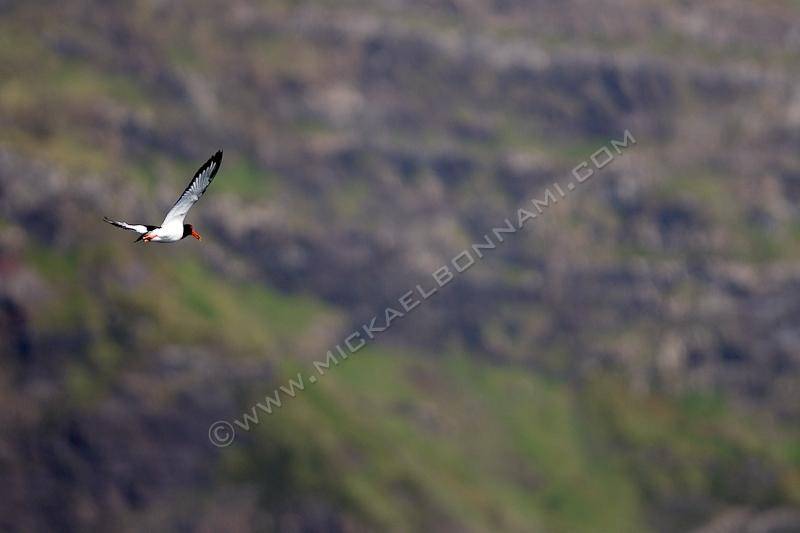Ile de Skye - Ecosse - Neist Point - Huitrier Pie