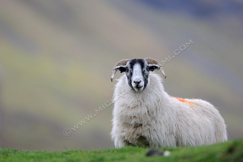 Ile de Skye - Ecosse - Mouton