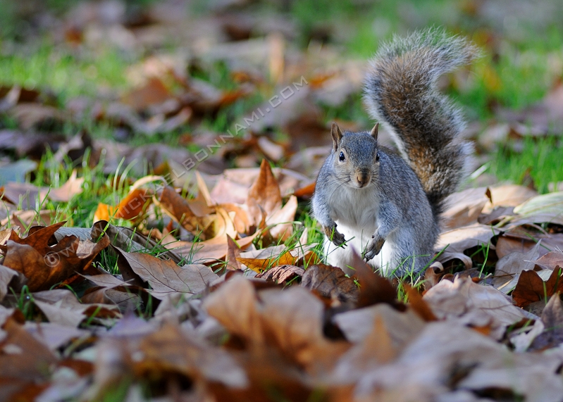London Wildlife - Londres - Ecureuil - Green Park