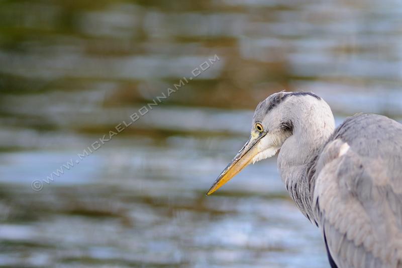 London Wildlife - Londres - Héron cendré - Regent's Park