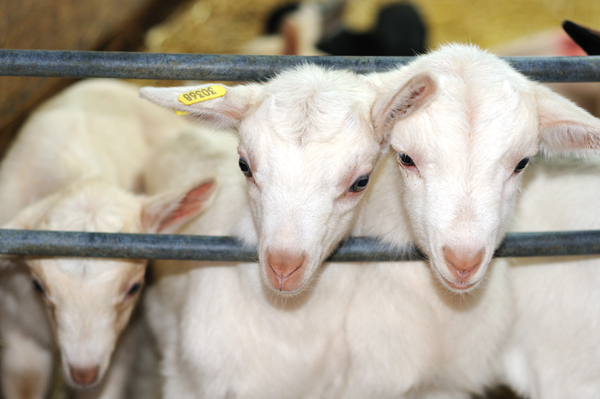 Bulle de chèvre - Chèvrerie Le Charmat