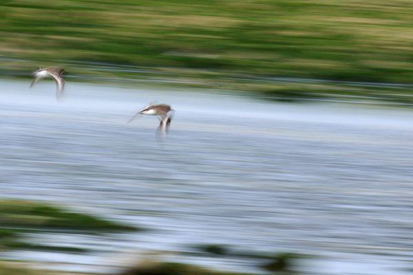 Oiseaux des rivages Oléron