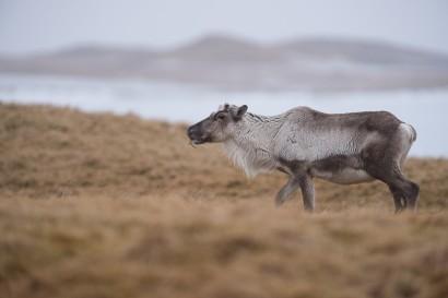 Islandic dýralíf