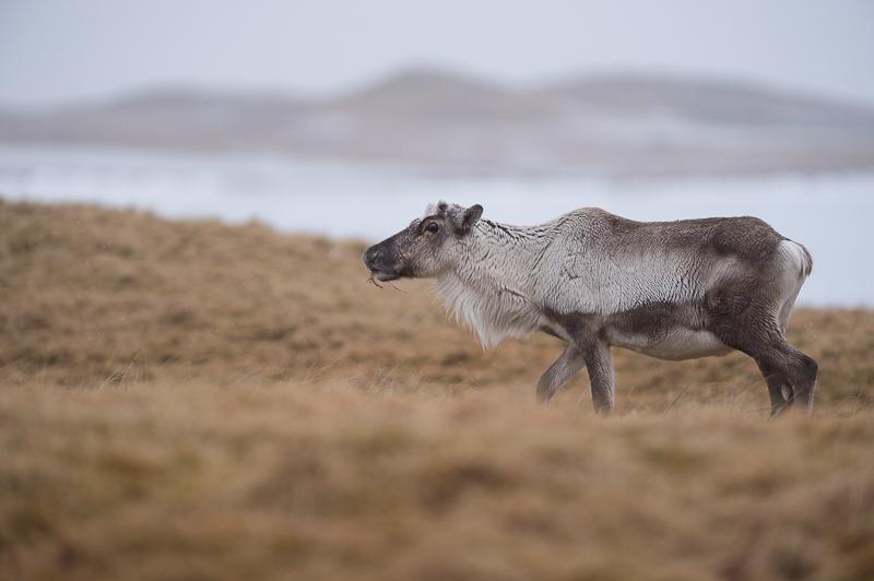 La faune en Islande - Rennes - Islandic dýralíf
