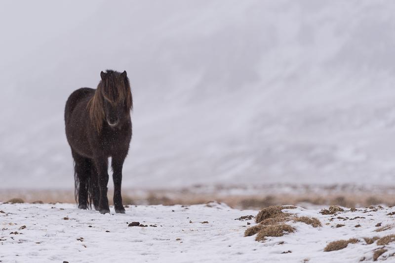 Islandic dýralíf - Cheval islandais - Islande - Mickaël Bonnami Photographe