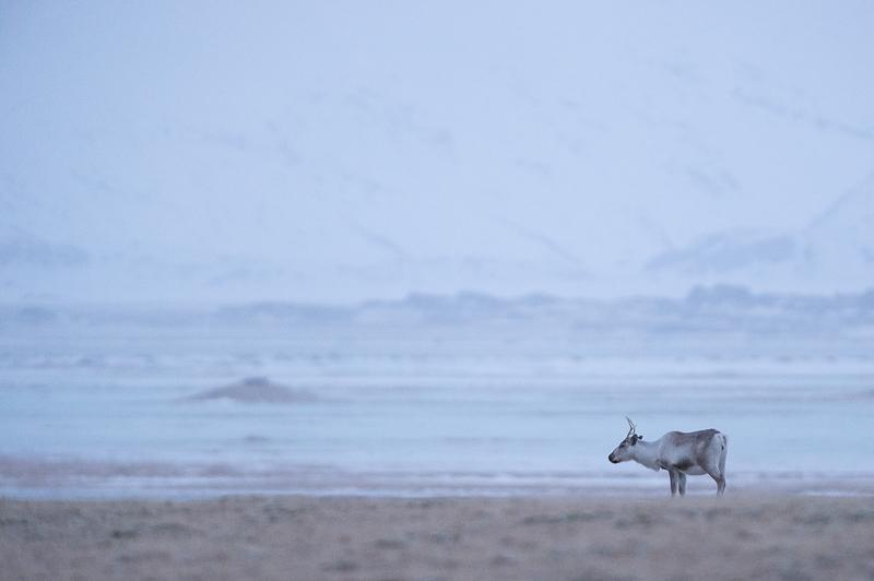 Islandic dýralíf - Rennes sauvages - Islande - Mickaël Bonnami Photographe
