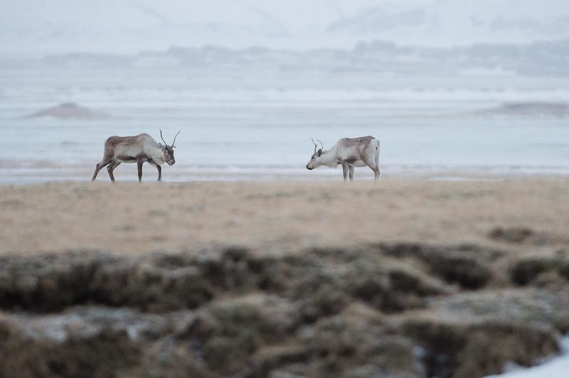 Islandic dýralíf - Rennes sauvages - Islande