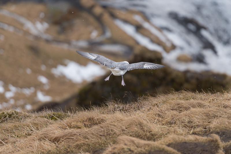 Islandic dýralíf - Islande - Mickaël Bonnami Photographe