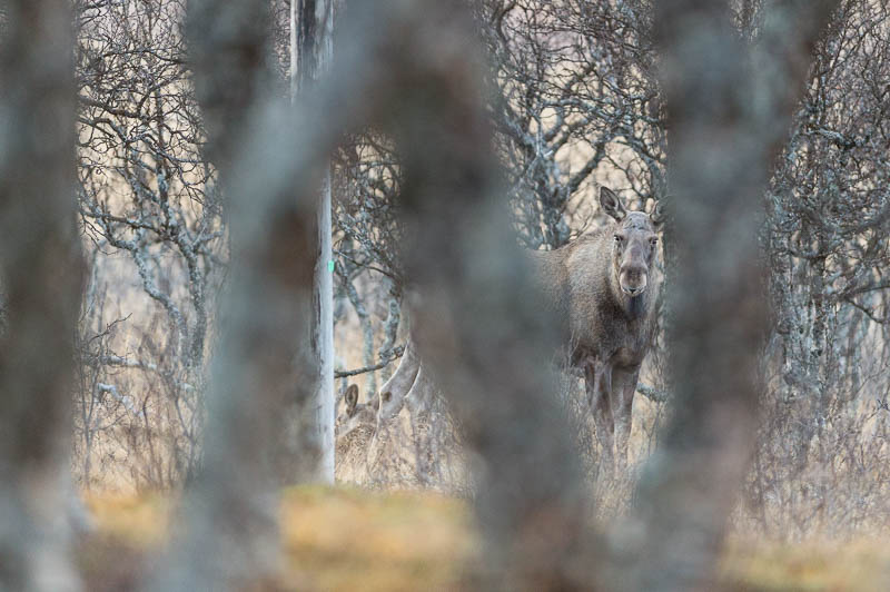 Elan Norvège - Moose Håkøya - Tromø