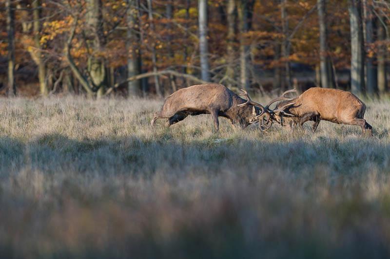 Jægerborg Dyrehave - Cervidés du Danemark - Copenhague - Cerf Elaphe - Combat de cerfs - Rut