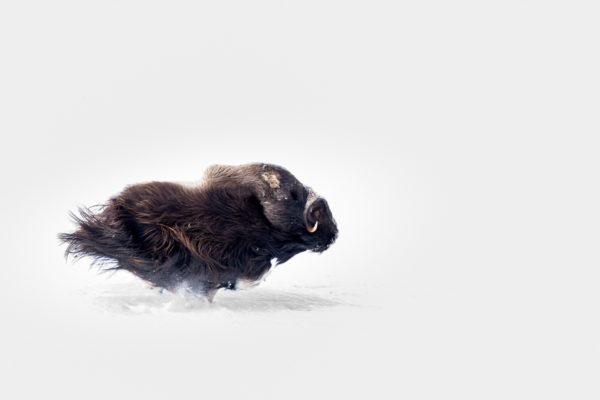 Habituellement le bœuf musqué est souvent photographié immobile, il représente l'animal placide, imposant et lent. Sur cette image il semble léger, on croirait presque qu'il vole. Pour une fois sa puissance s'exprime à travers le mouvement. Nice shot !!!
