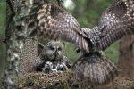 Magnifique photo de famille. On arrive même à ressentir un certain soulagement dans les yeux des poussins et celui du parent resté au nid. Belle prise, bravo !
