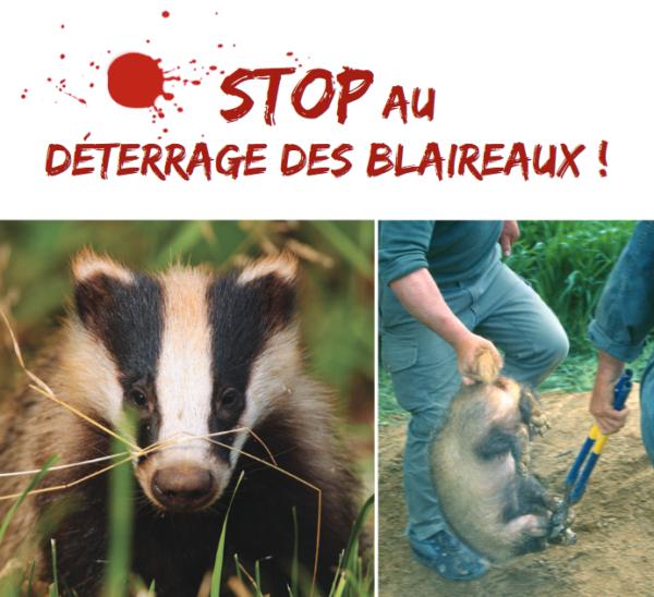 Stop au déterrage des blaireaux - Aspas