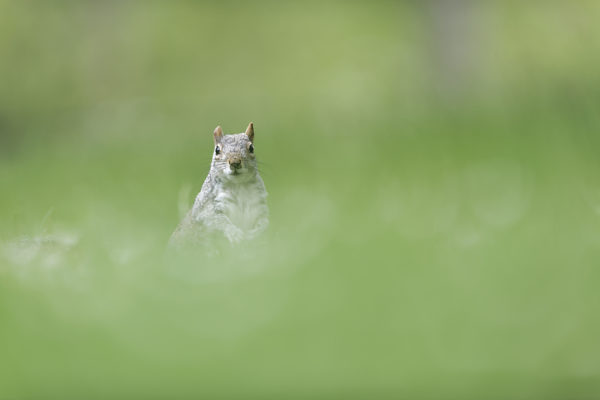 Écureuils de Londres - Green Park - St James's Park