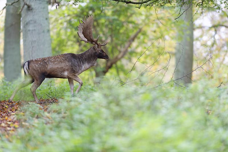 Dyrehaven - Danemark - Klampenborg - Copenhague - Copenhagen Deer park - Animalier - Parc