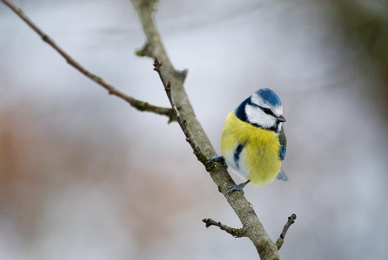 Oiseaux des jardins - Mésange bleue - Formation photo VP23