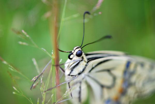 Machaon - Nikon D80 - Pyrénées - Papillon